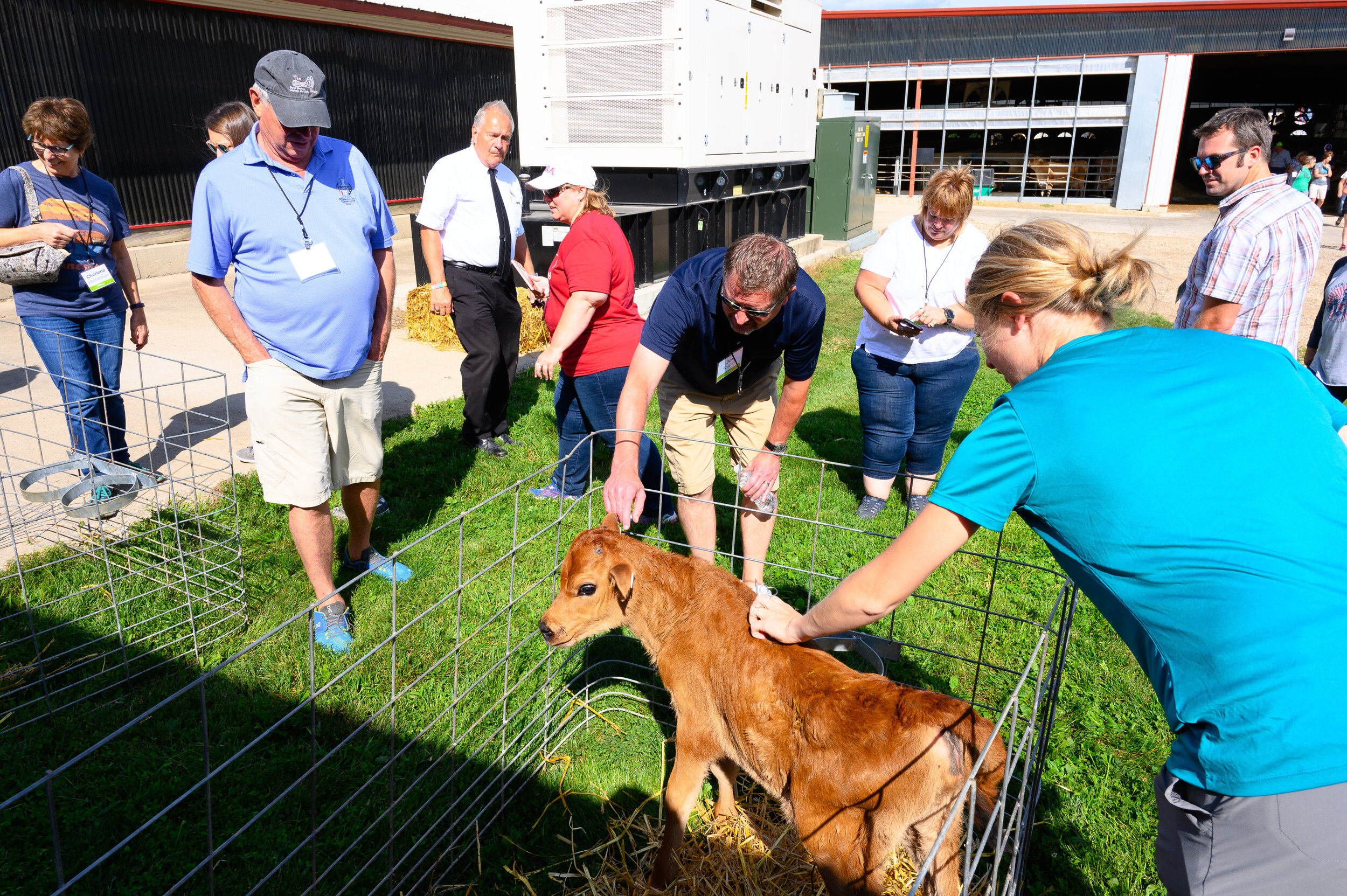 Newborn calves are bottle-fed to ensure proper nutrition. Photo credit: Joseph L. Murphy/Iowa Soybean Association
