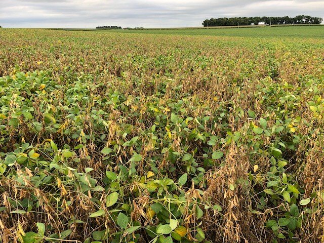Photo of a soybean field with white mold. Photo credit: Tom Oswald
