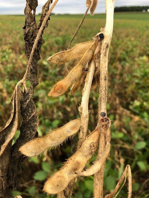 Photo of a soybean plant with white mold. Photo credit: Tom Oswald