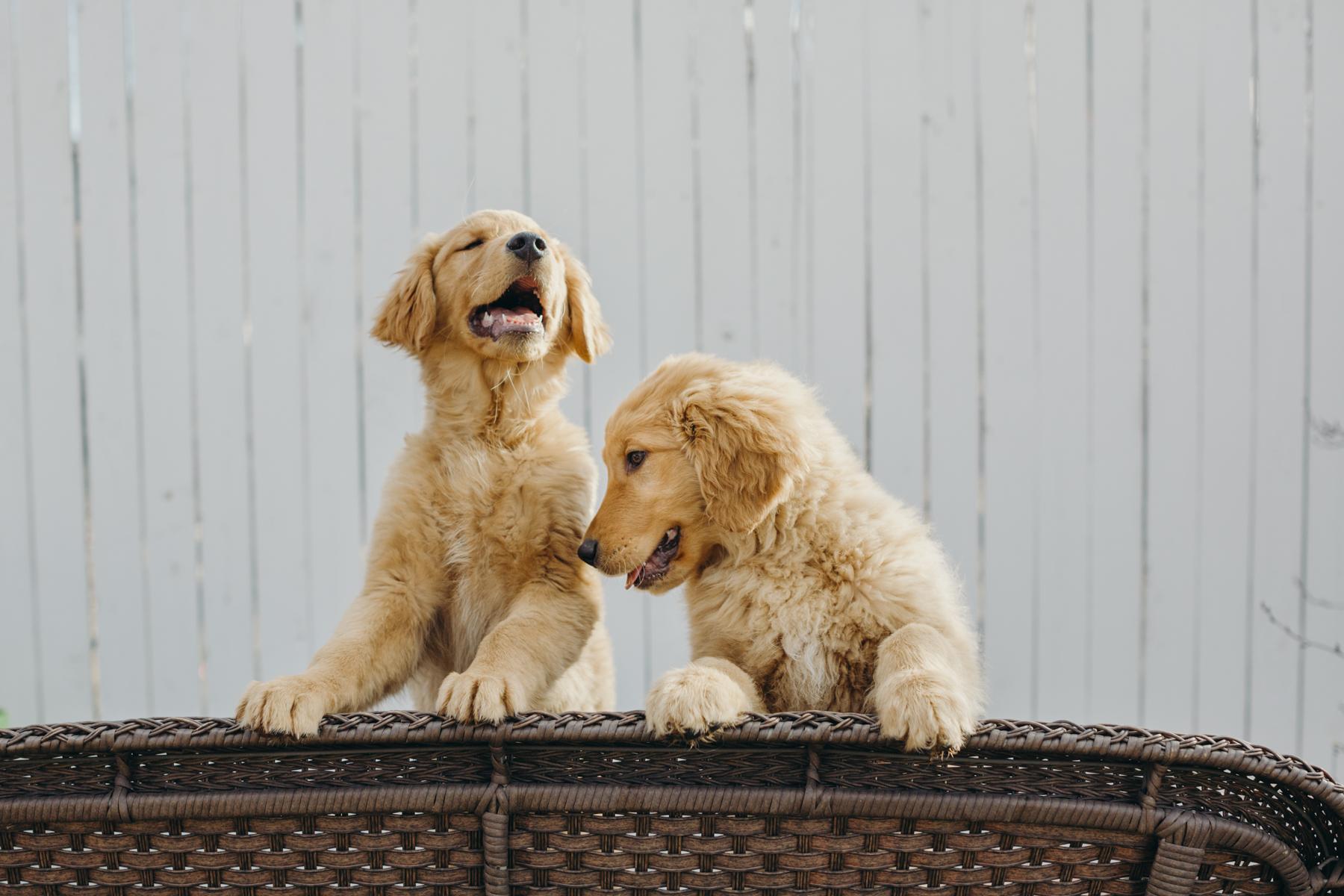 Kim_Golden_Puppies-204.jpg