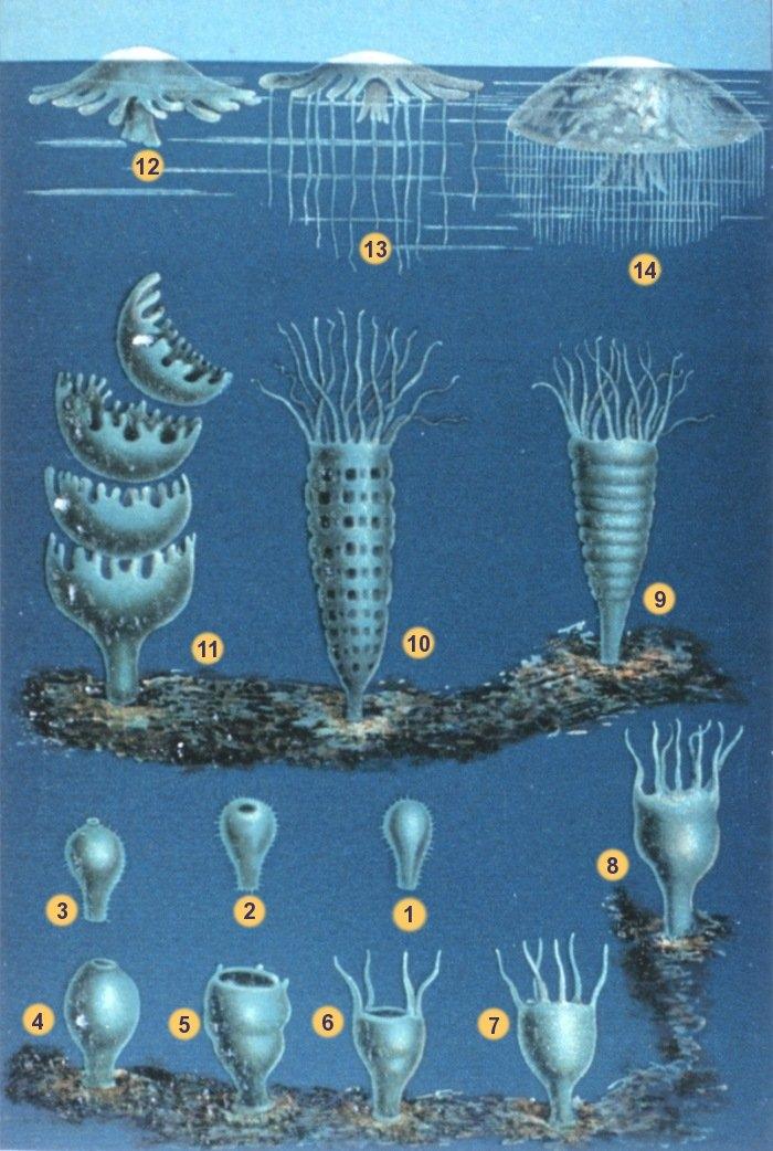 """1-3 Larva searches for site  4-8 Polyp grows  9-11 Strobilation into Medusae  12-14 Medusa grows  From Schleiden M. J. """"Die Entwicklung der Meduse"""". In: """"Das Meer"""". Verlag und Druck A. Sacco Nachf., Berlin, 1869.NOAA photo librarySchleiden-meduse.jpg, Public Domain, https://commons.wikimedia.org/w/index.php?curid=816317"""