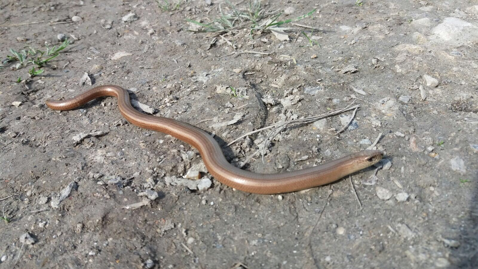 A slow worm!