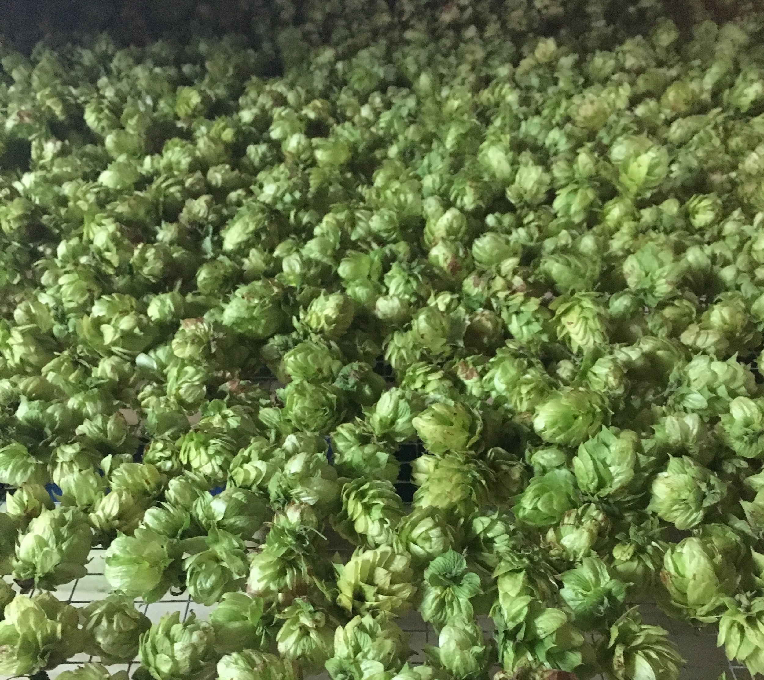 DRY HOP FLOWERS - Our hops are dried to the optimum % dry weight and sealed in a vacuum bag. Dry hops should be stored in a fridge and will maintain their freshness and aromas for up to 12 months if stored correctly.  Dry hops are available year round dependent upon quantities available.
