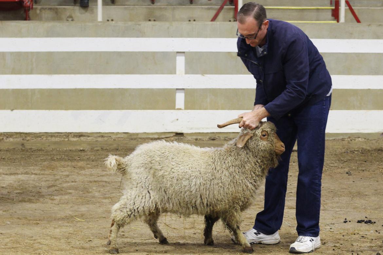 pygora goat.jpg