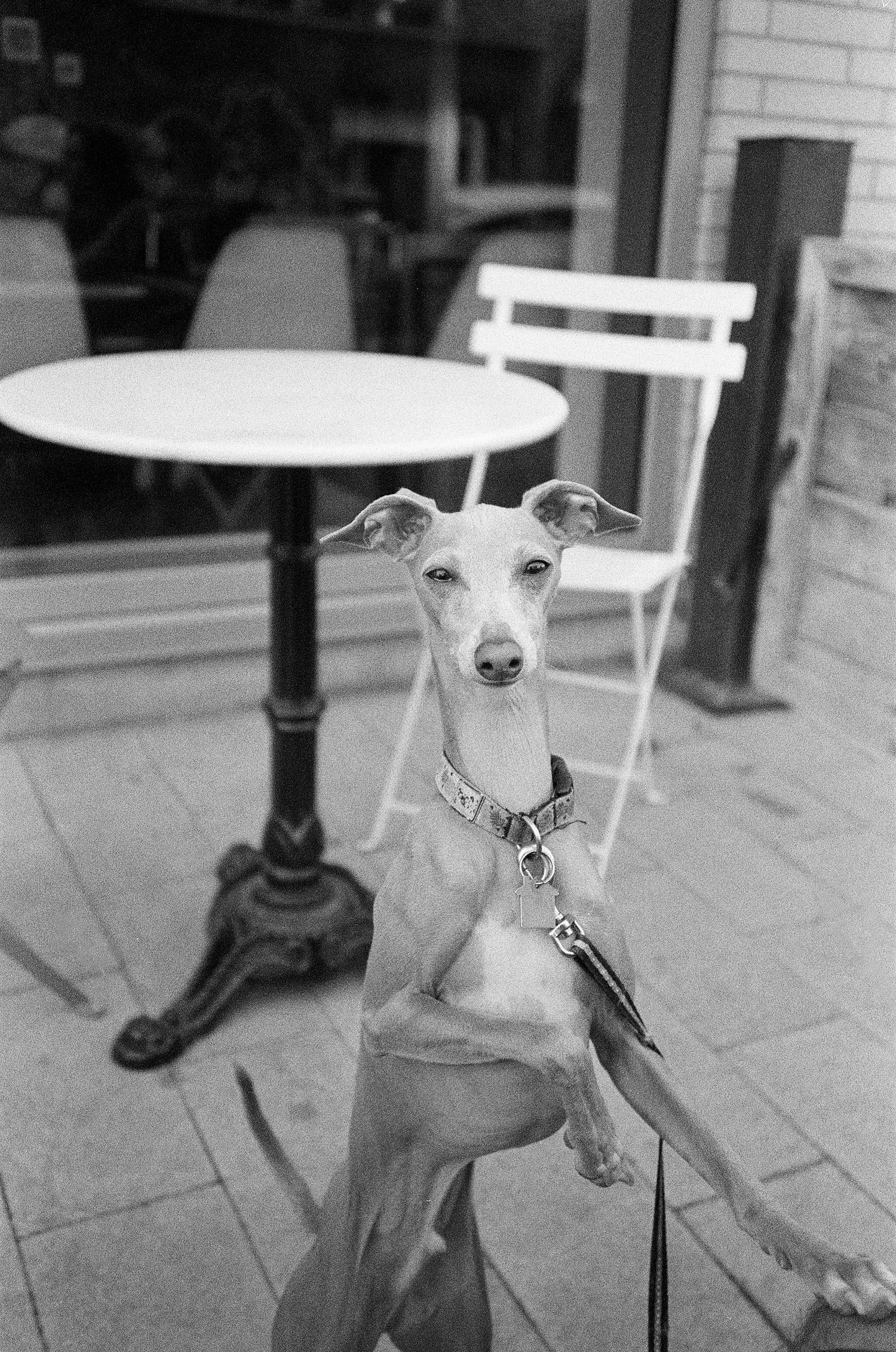 31-Cute-Italian-Greyhound-named-Dobby.jpg