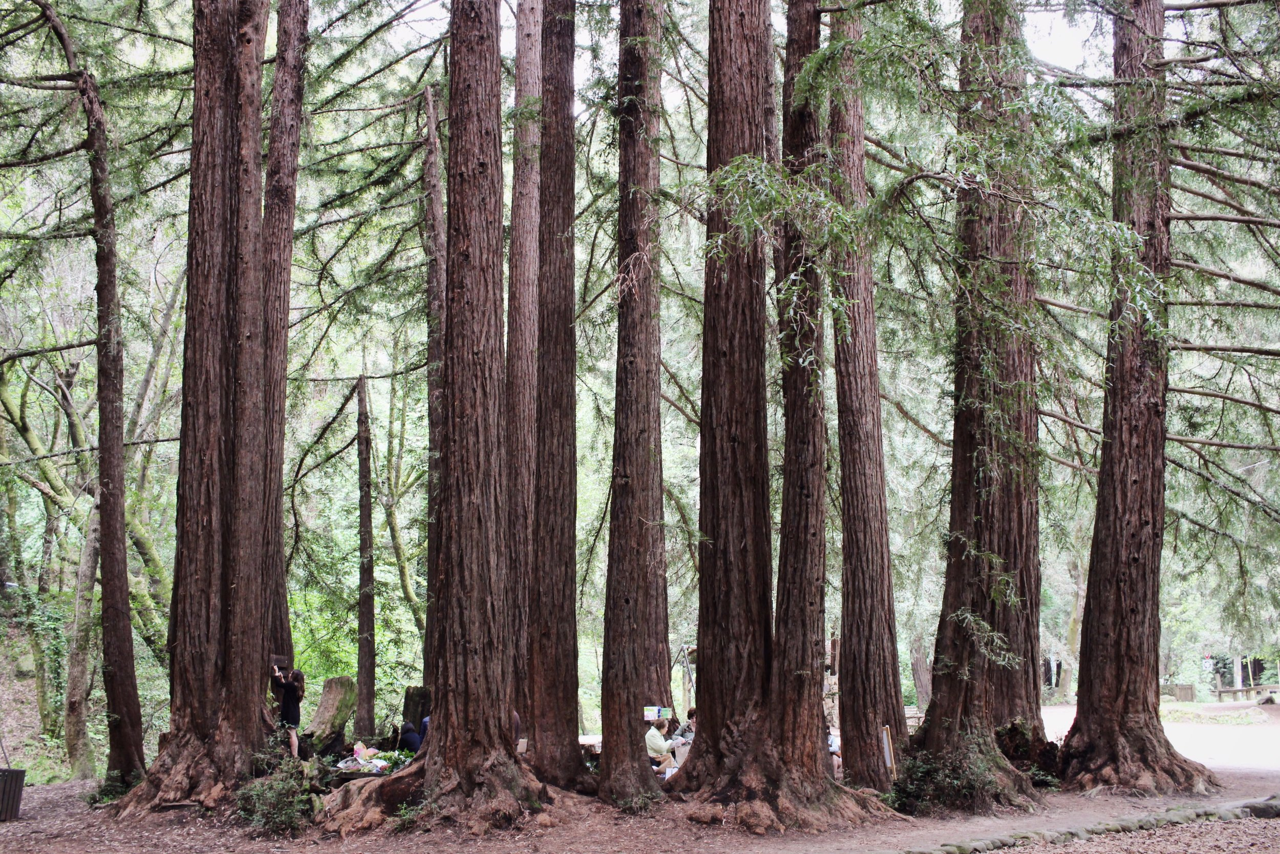 The Redwood Grove, Old Mill Park