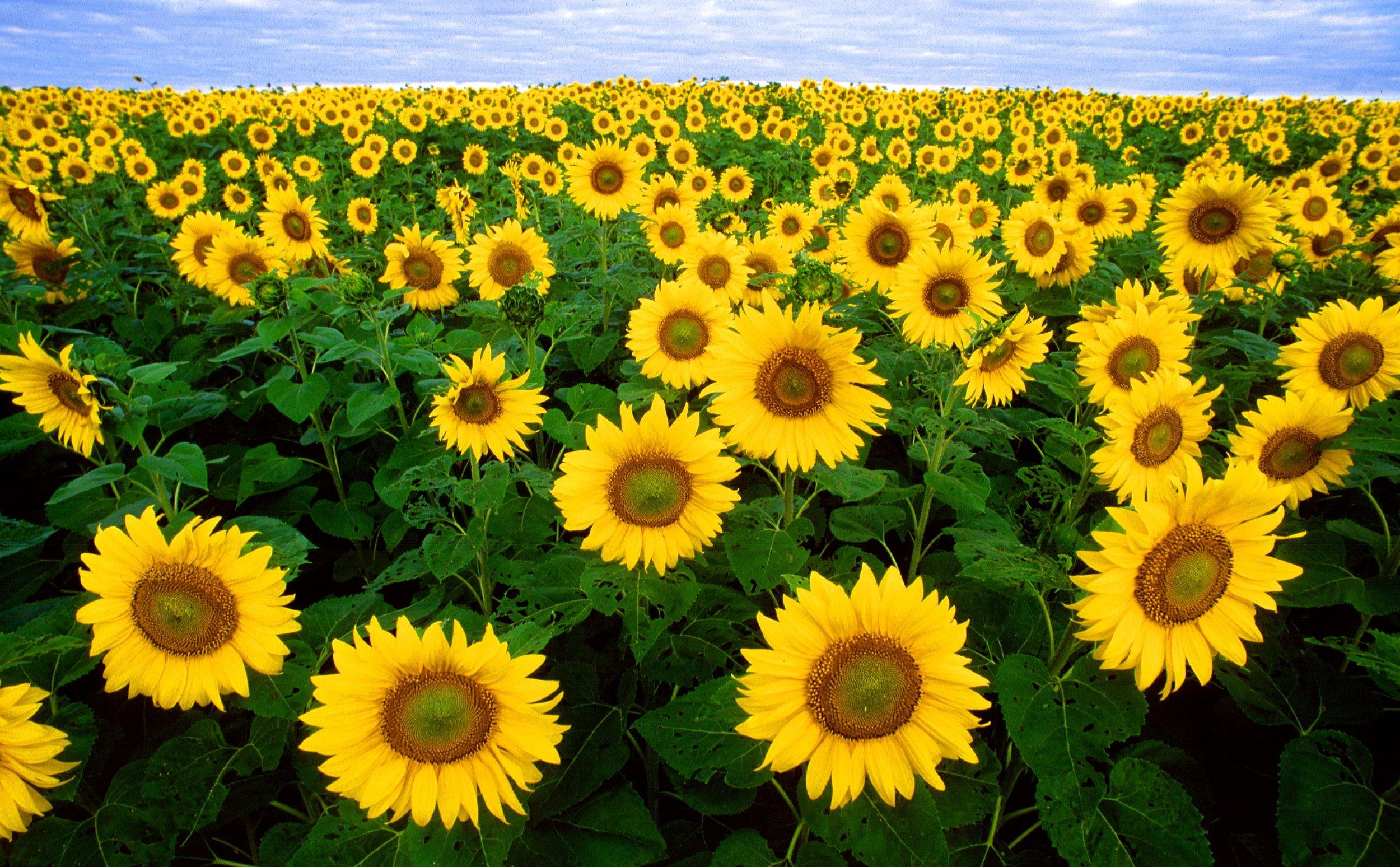 sunflower-sunflower-field-flora-field-87056.jpg