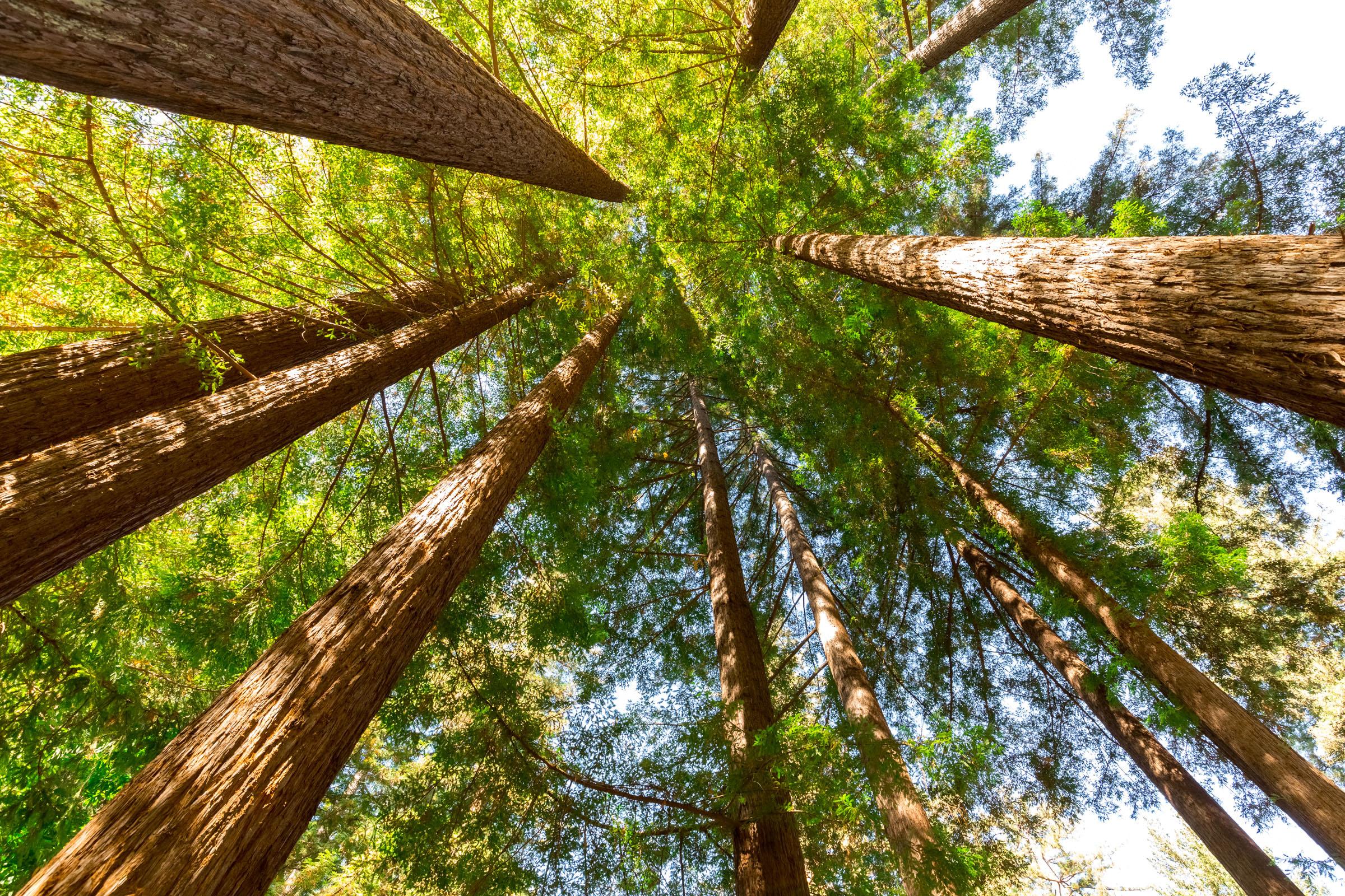 Santa Cruz Mountains Redwood Trees