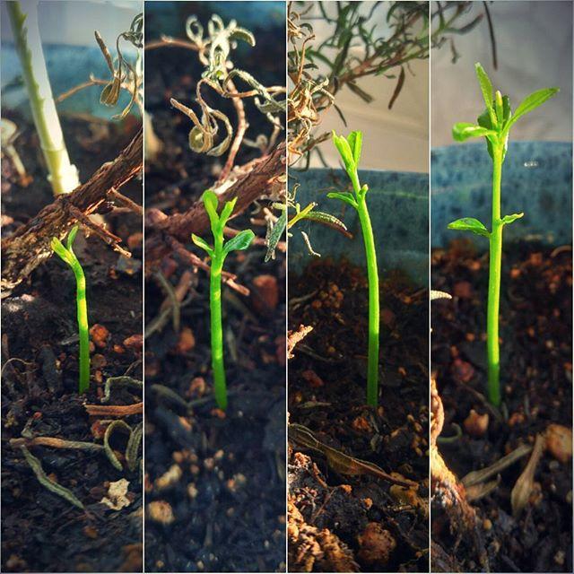 a week in the life of a baby yuzu tree 🌱🍋🌱🍊🌱 #arborday #listentothesilenttrees #yuzu #yuzucitrus #sowingseeds #indoorgarden #dirt #growingup #sprouts #delayedreaction #timerelease #thxjordan