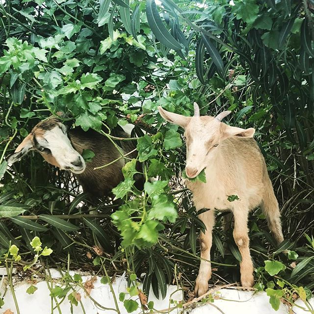 These guys!!!! They'll do anything to get the best most juicy greens! 💚💚💚 #corfu #goatsarecute #yogaretreat