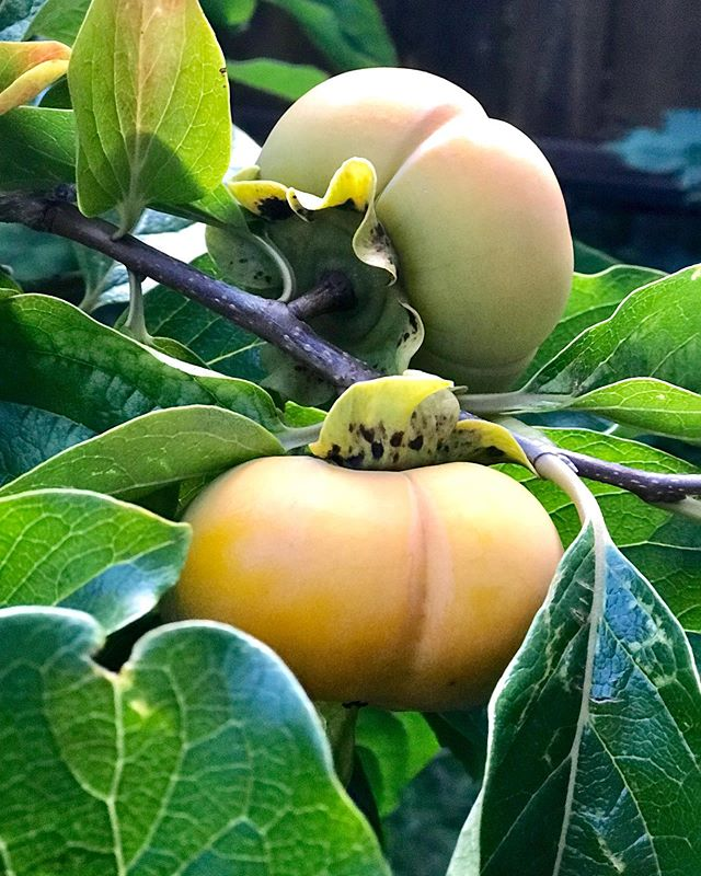 our #persimmon tree is having its most successful year yet! #urbanfarmer #gardenparty