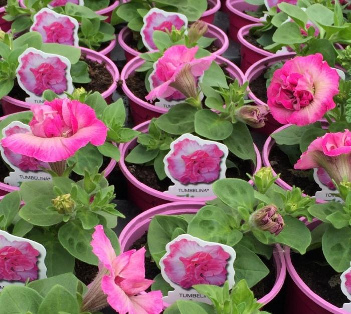 pinkpots1.jpg
