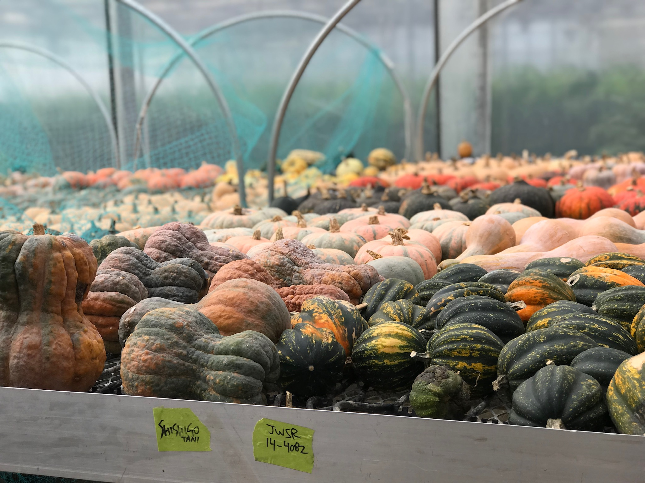 During a farm tour, I spotted these gourds in a greenhouse.