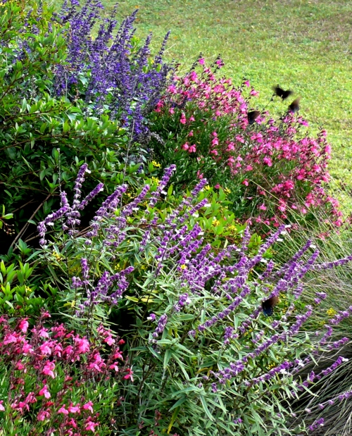 3 varieties of Salvia in a Texas garden. Credit: http://www.nature-education.org/plant-salvia.html