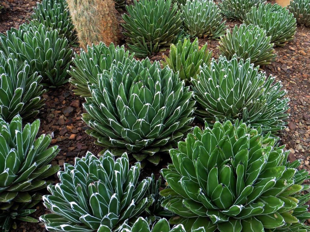 QUEEN VICTORIA AGAVE   worldofsucculents.com