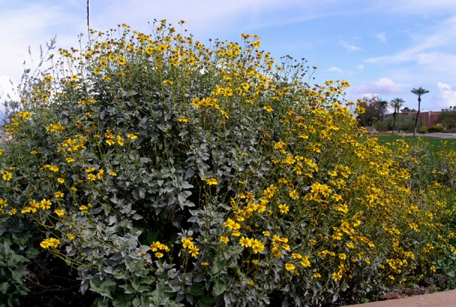 Brittlebush is another great wildflower