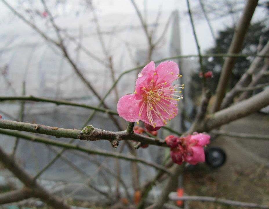 Japan pink flower.jpg