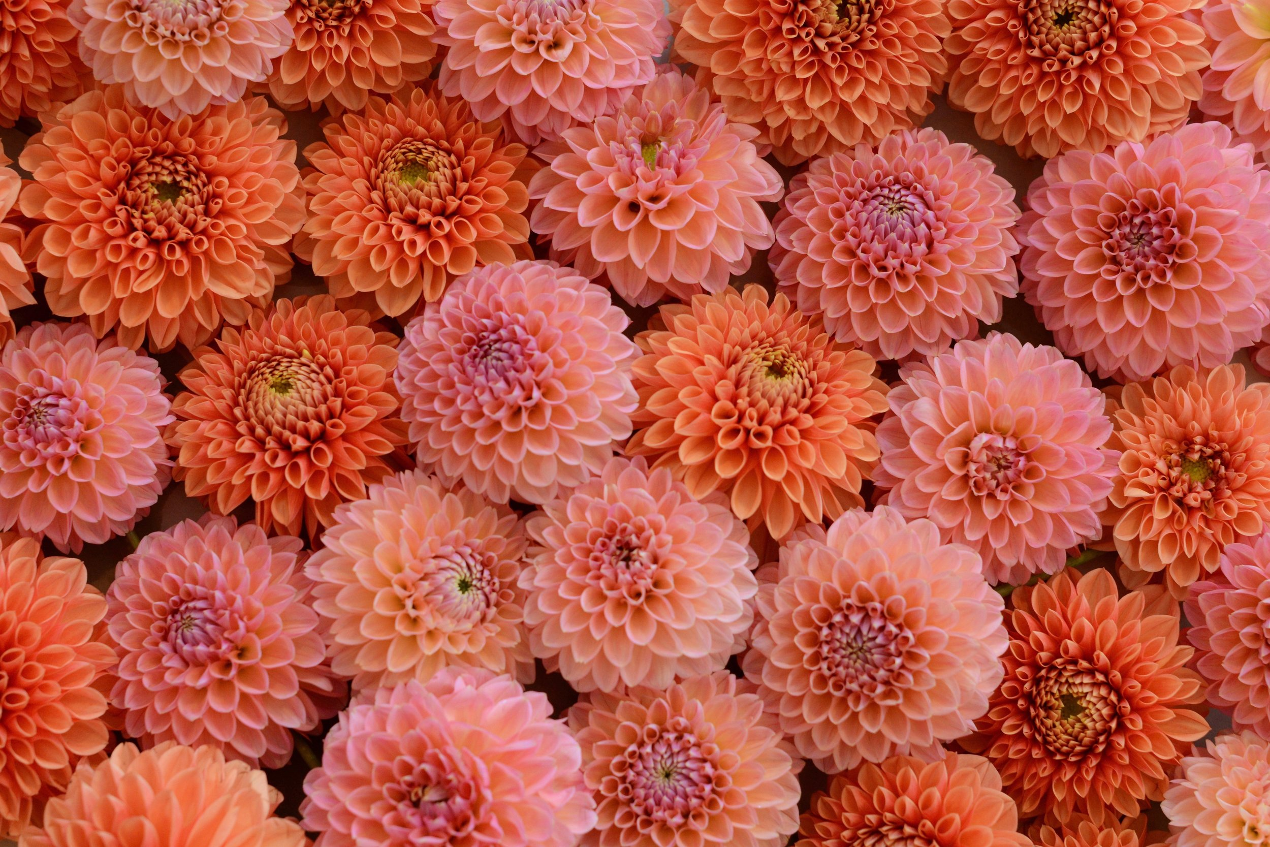 Perfect little puffs of orange and pink!
