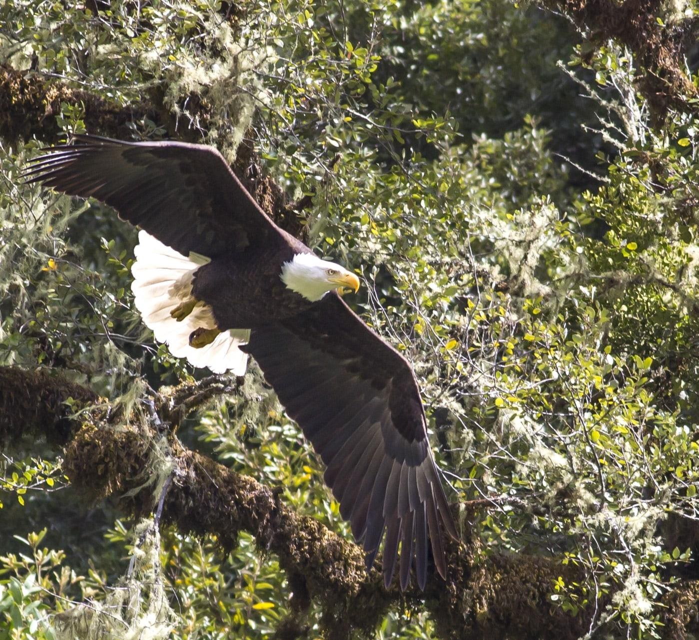 rogue-river-bald-eagle-min.jpg