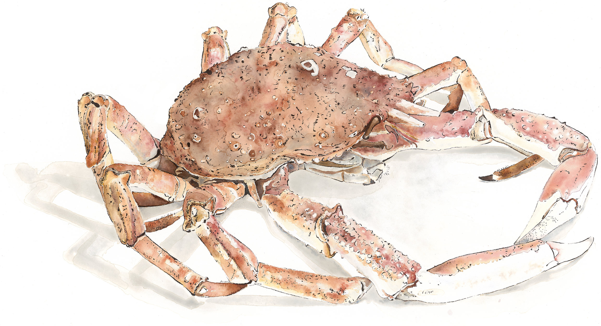 Spider Crab No.9 - Watercolour & Blotted Line