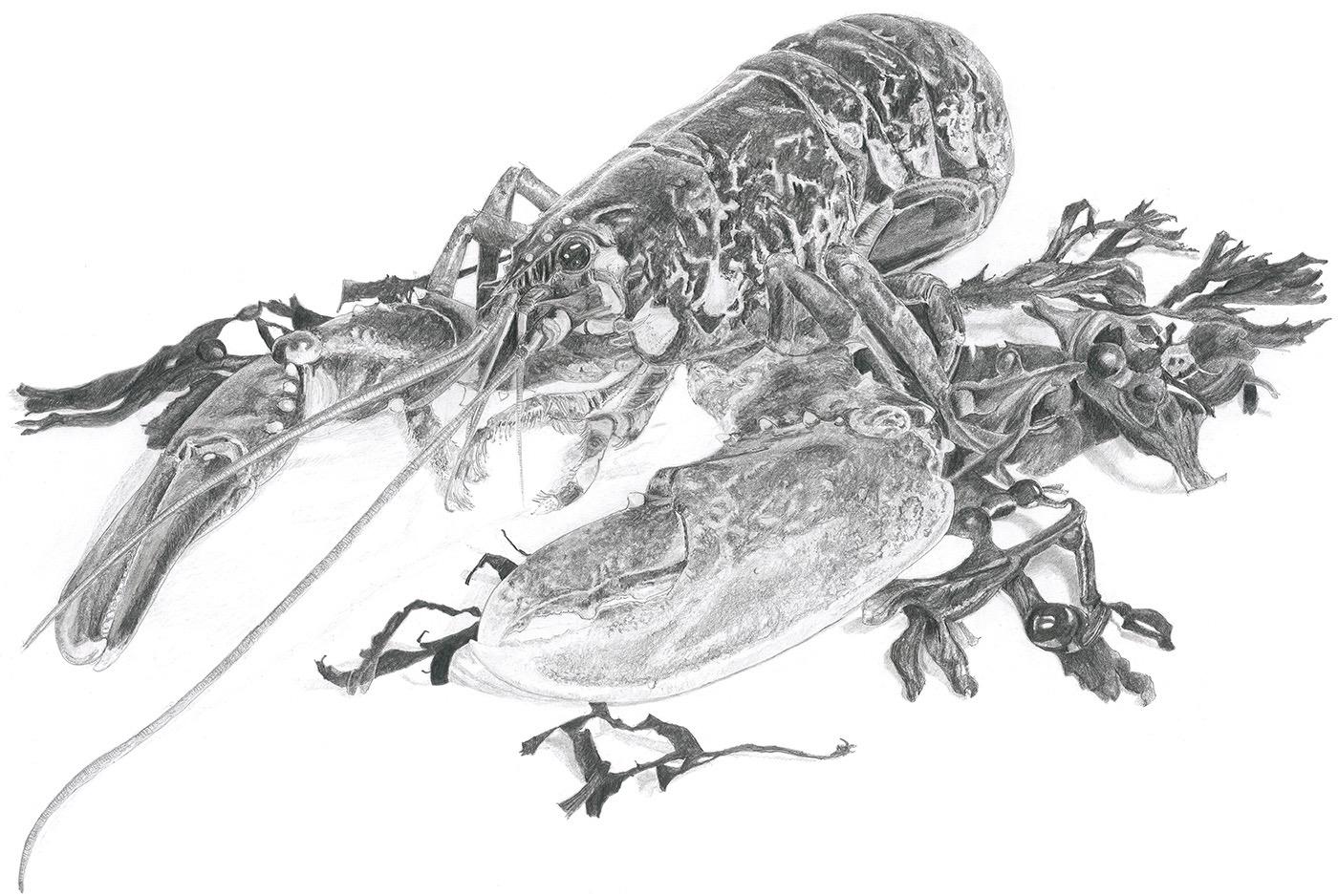 Native Lobster in Pencil