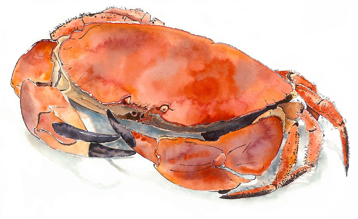 Crab -blotted line & watercolour painting by Lucy Clayton