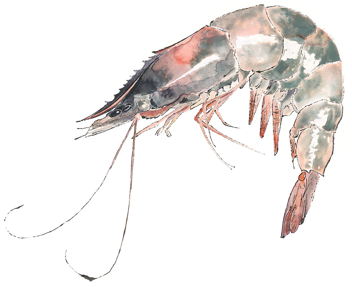 Prawn - blotted line & watercolour painting by Lucy Clayton