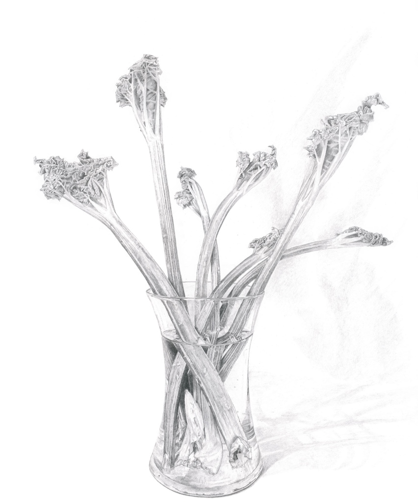 Pencil drawing of rhubarb