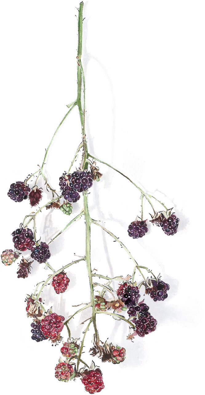 Blackberries - Blotted Line and Watercolour Painting by Lucy Clayton
