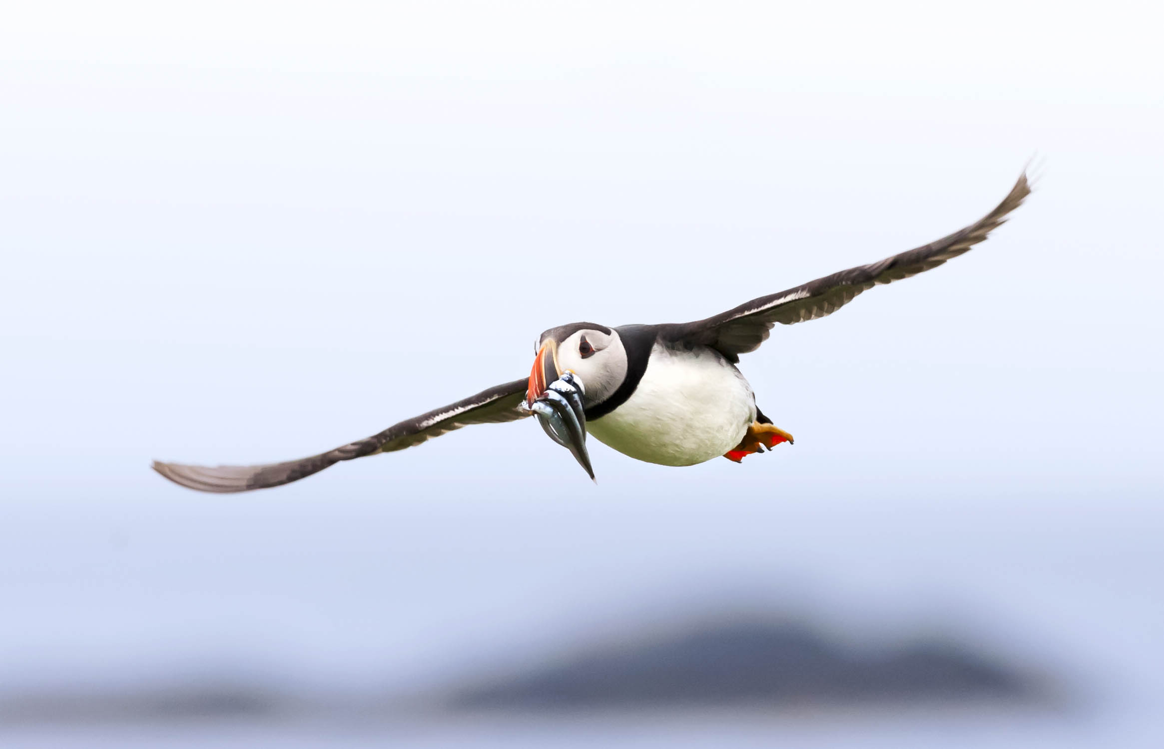 Puffin-In-Flight.jpg
