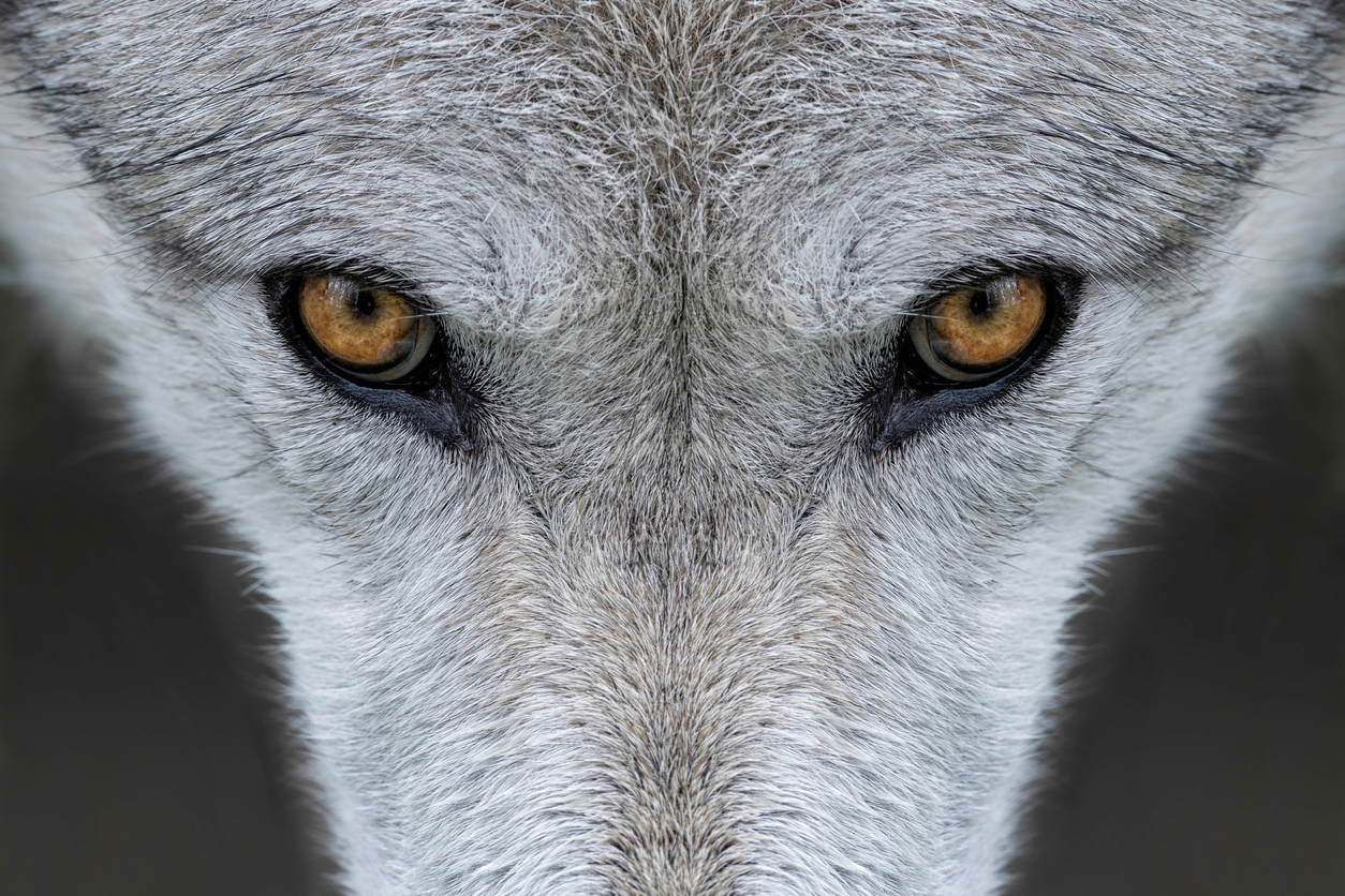 Yellowstone Wolf (photo credit to Getty Images)