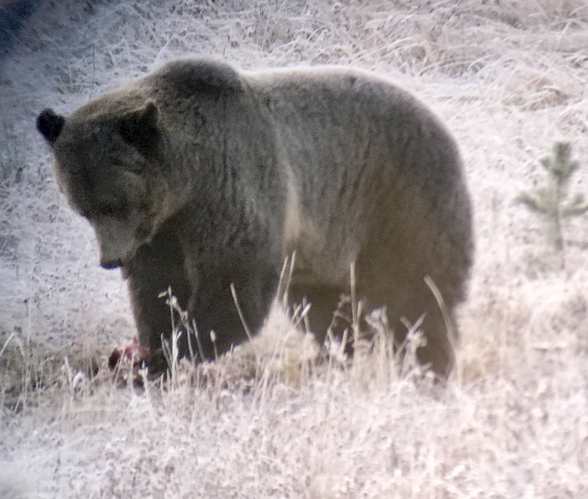 Grizzly eating breakfast