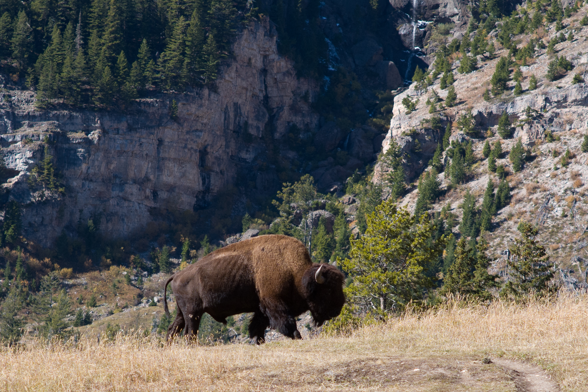 A bison in the Lamar valley