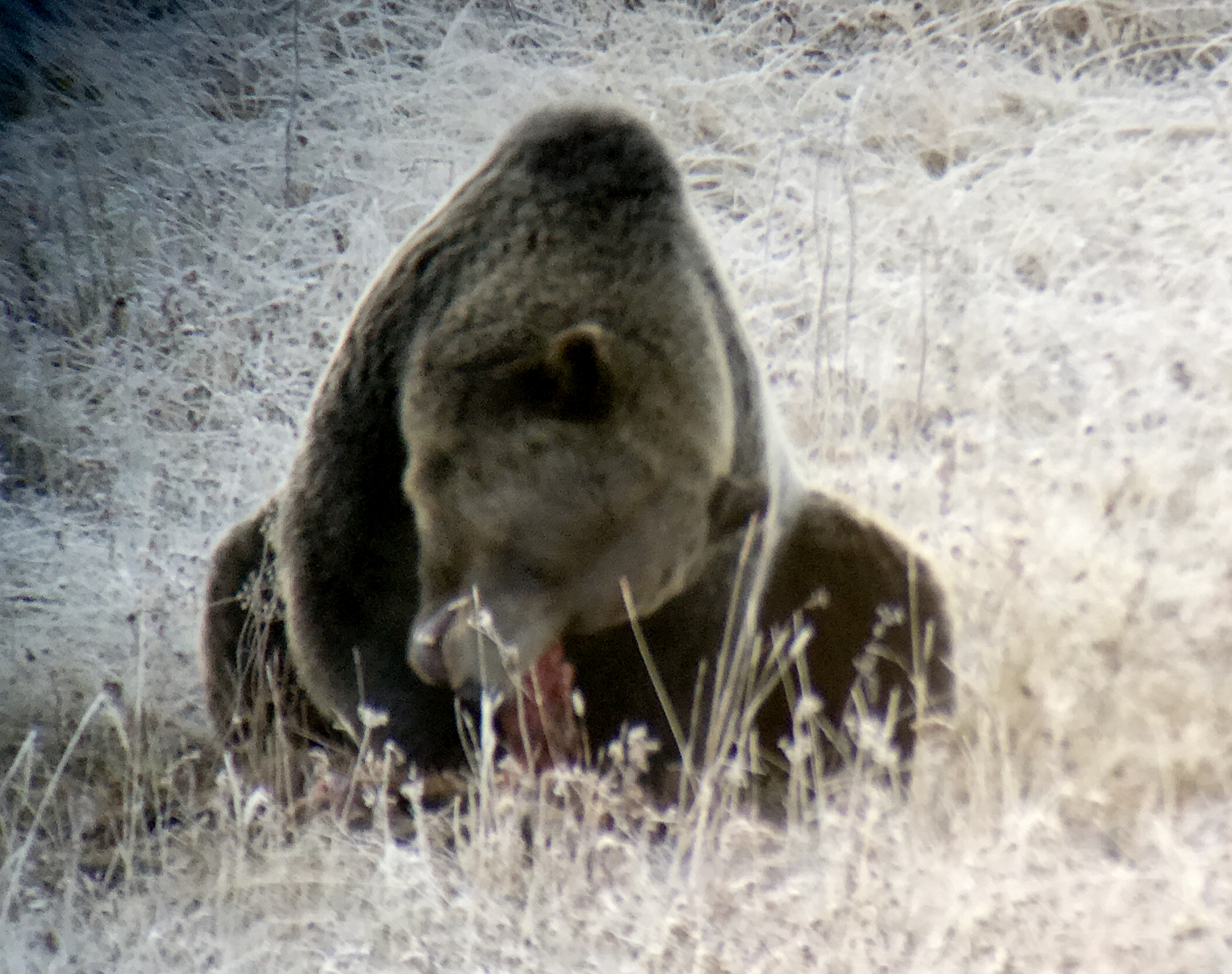 Grizzly eating the carcass of a wolf's kill