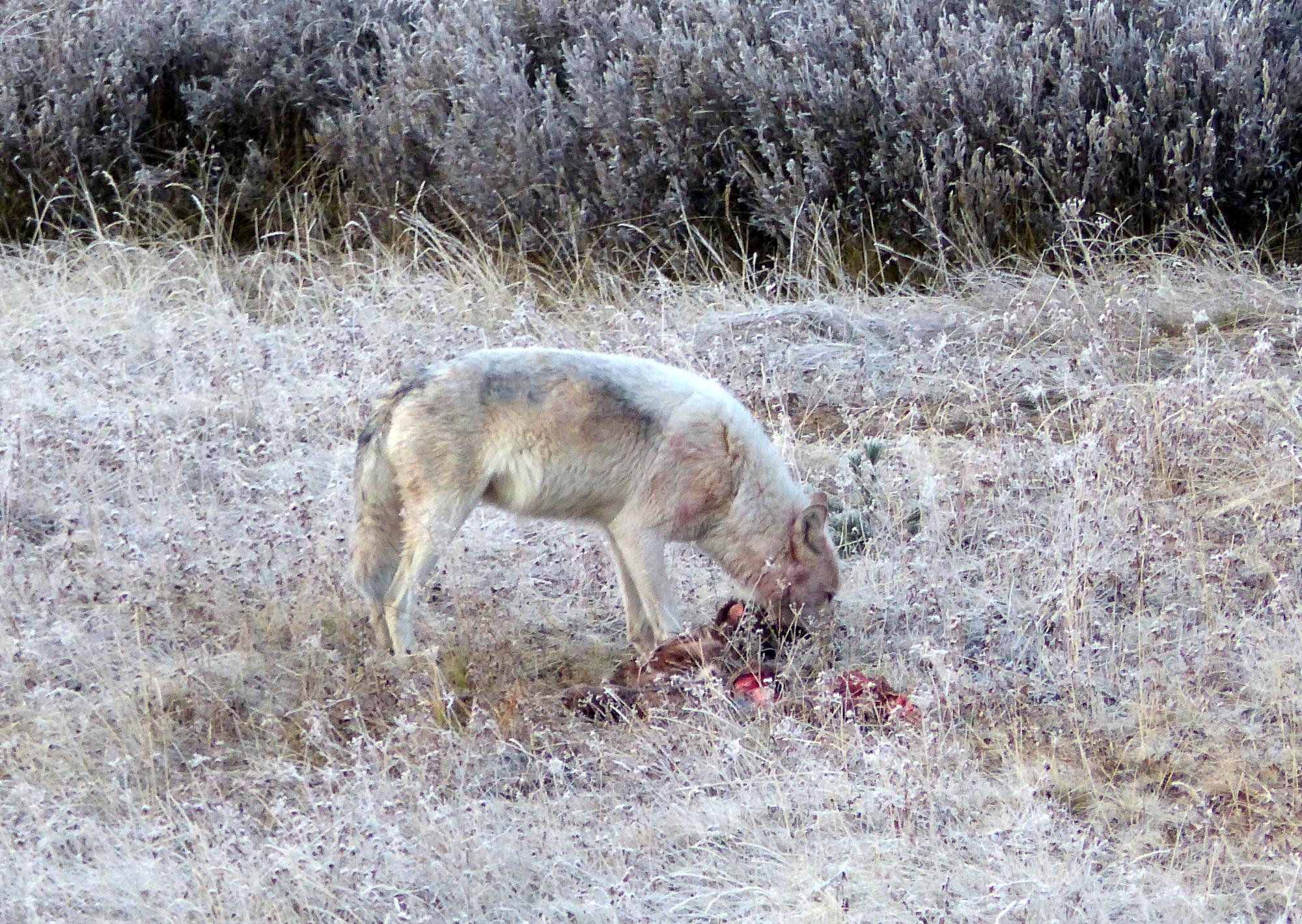 Wolf eating her fresh kill
