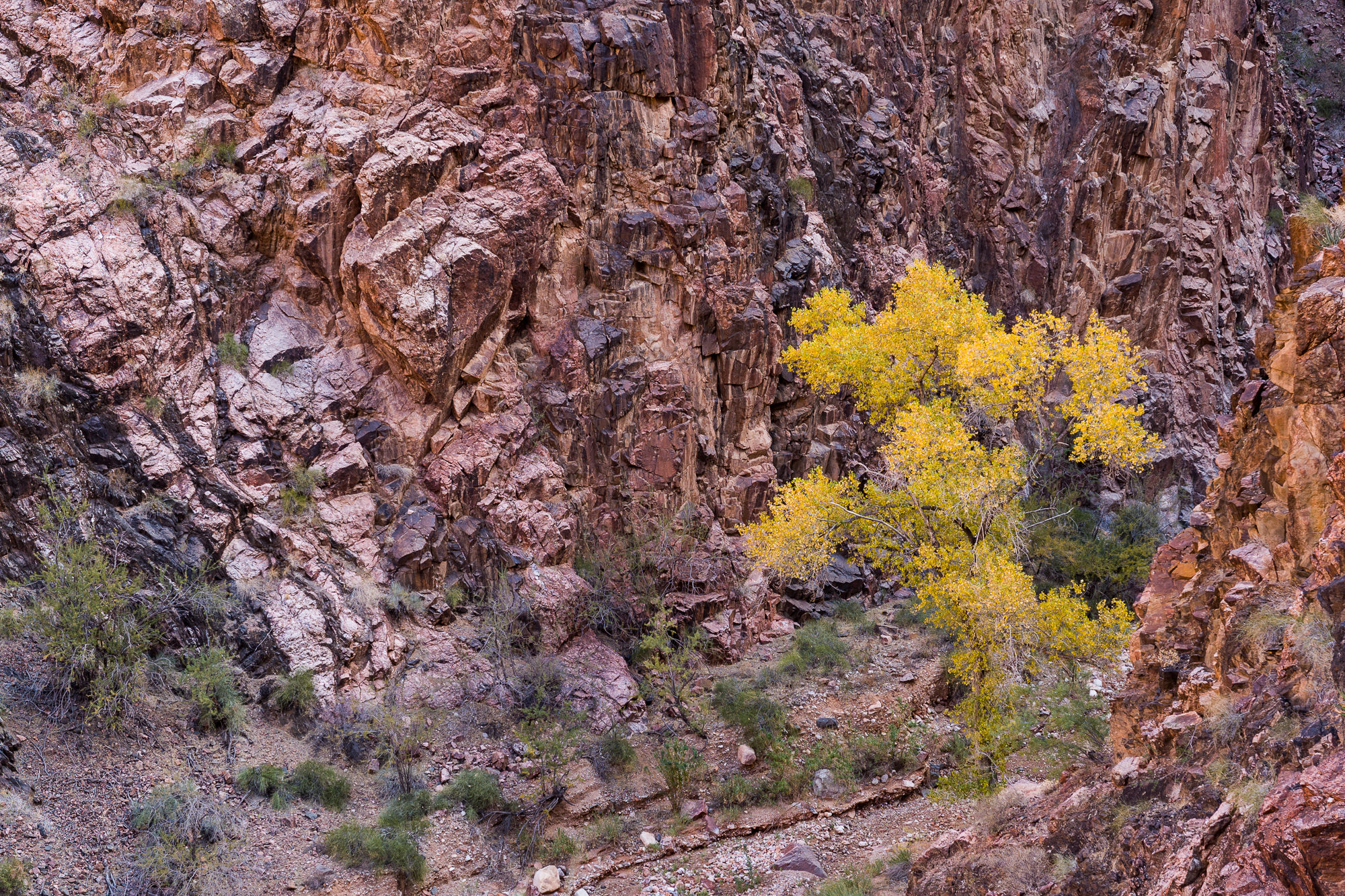 One of the colorful cottonwoods tucked in a canyon