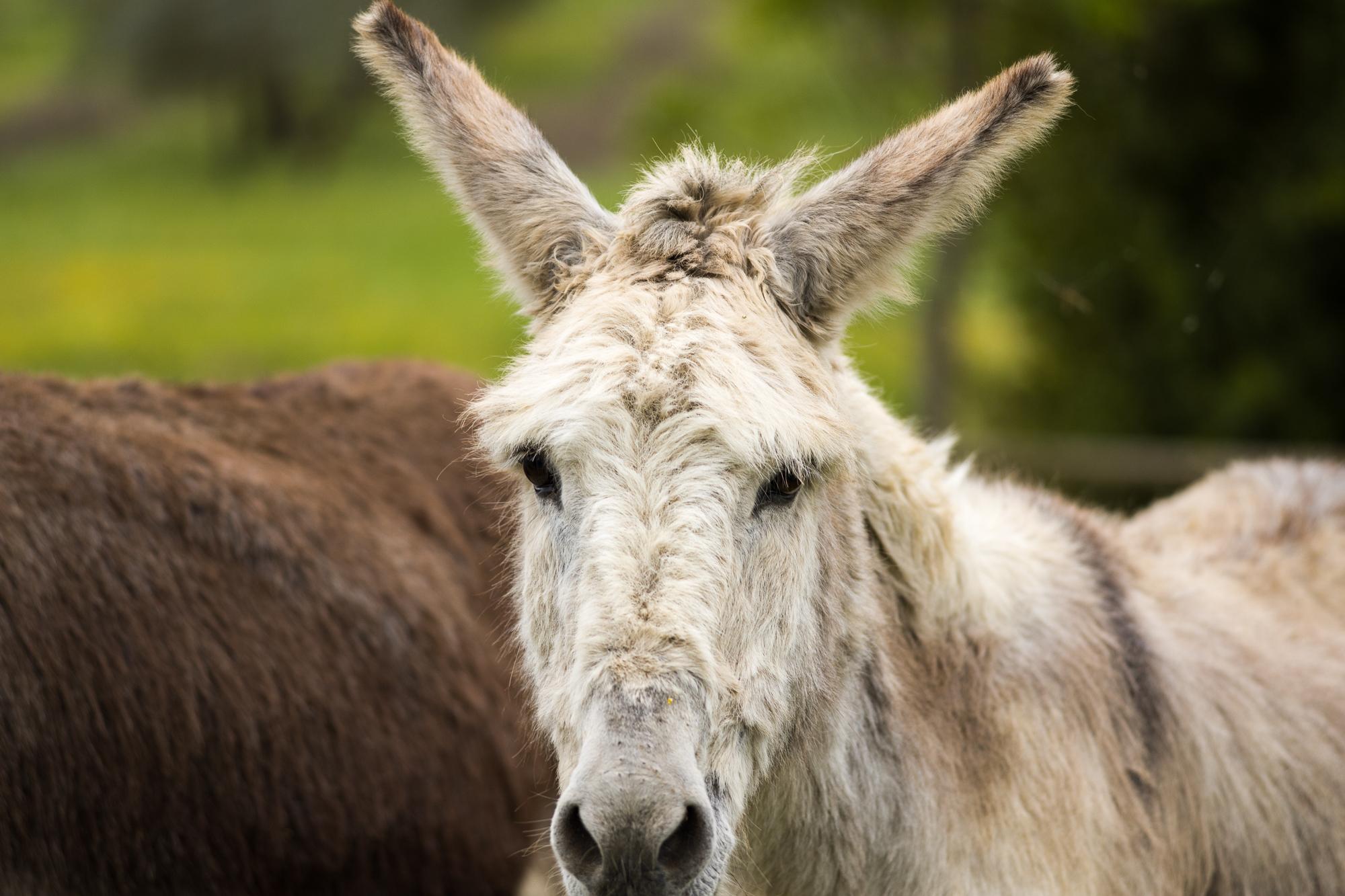 Donkeys at the Villa