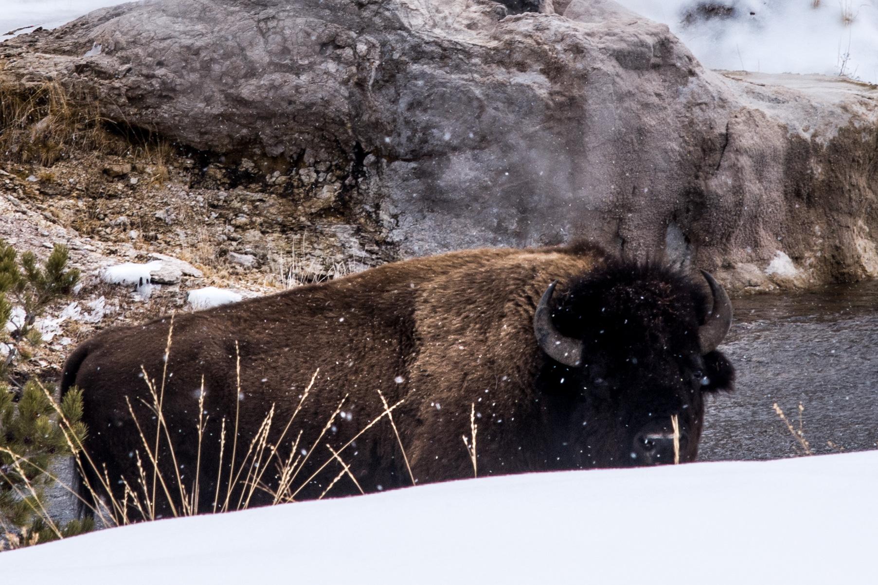 Bison in the geyser field