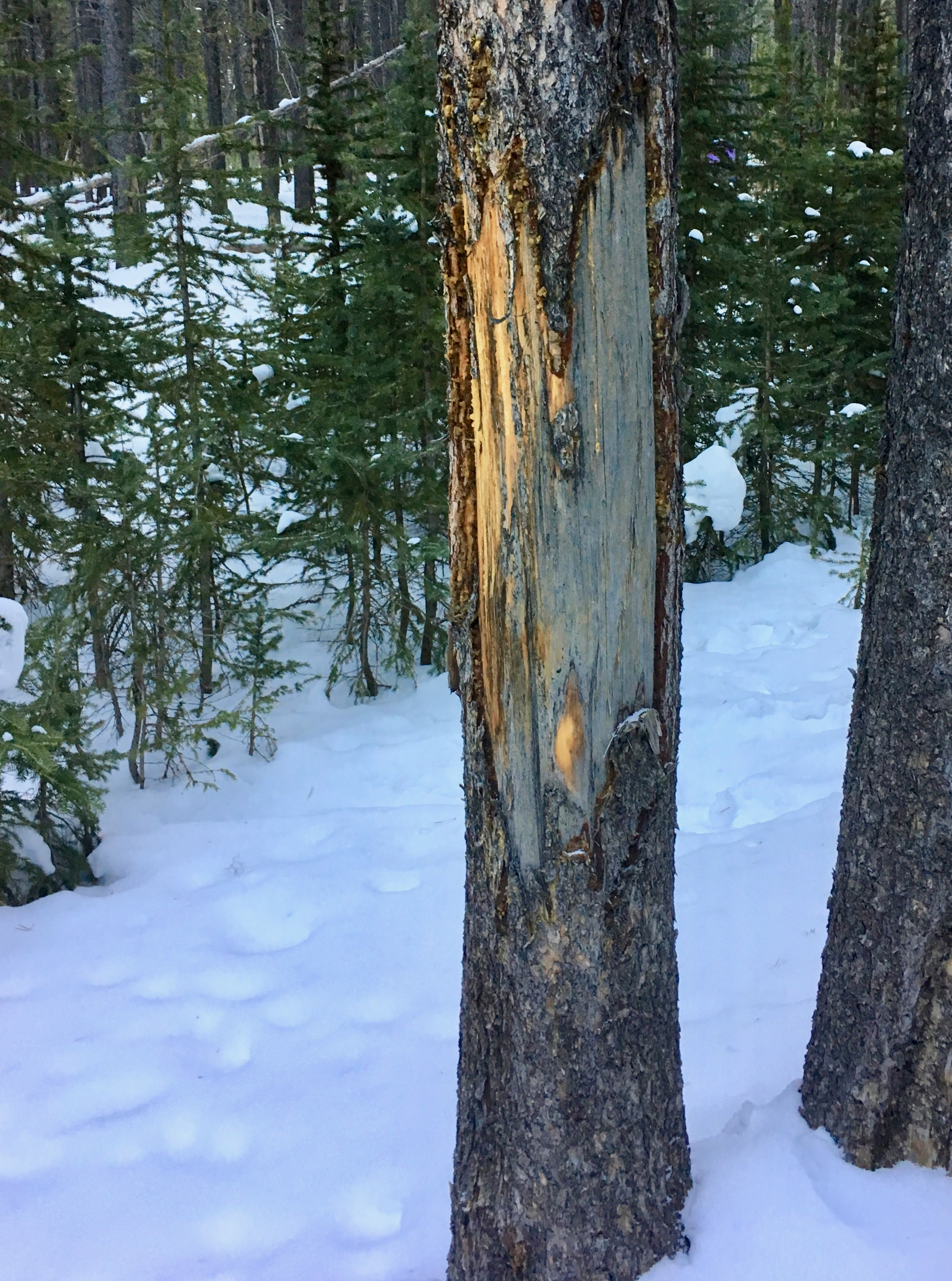 A tree tells the story of bison polishing their horns