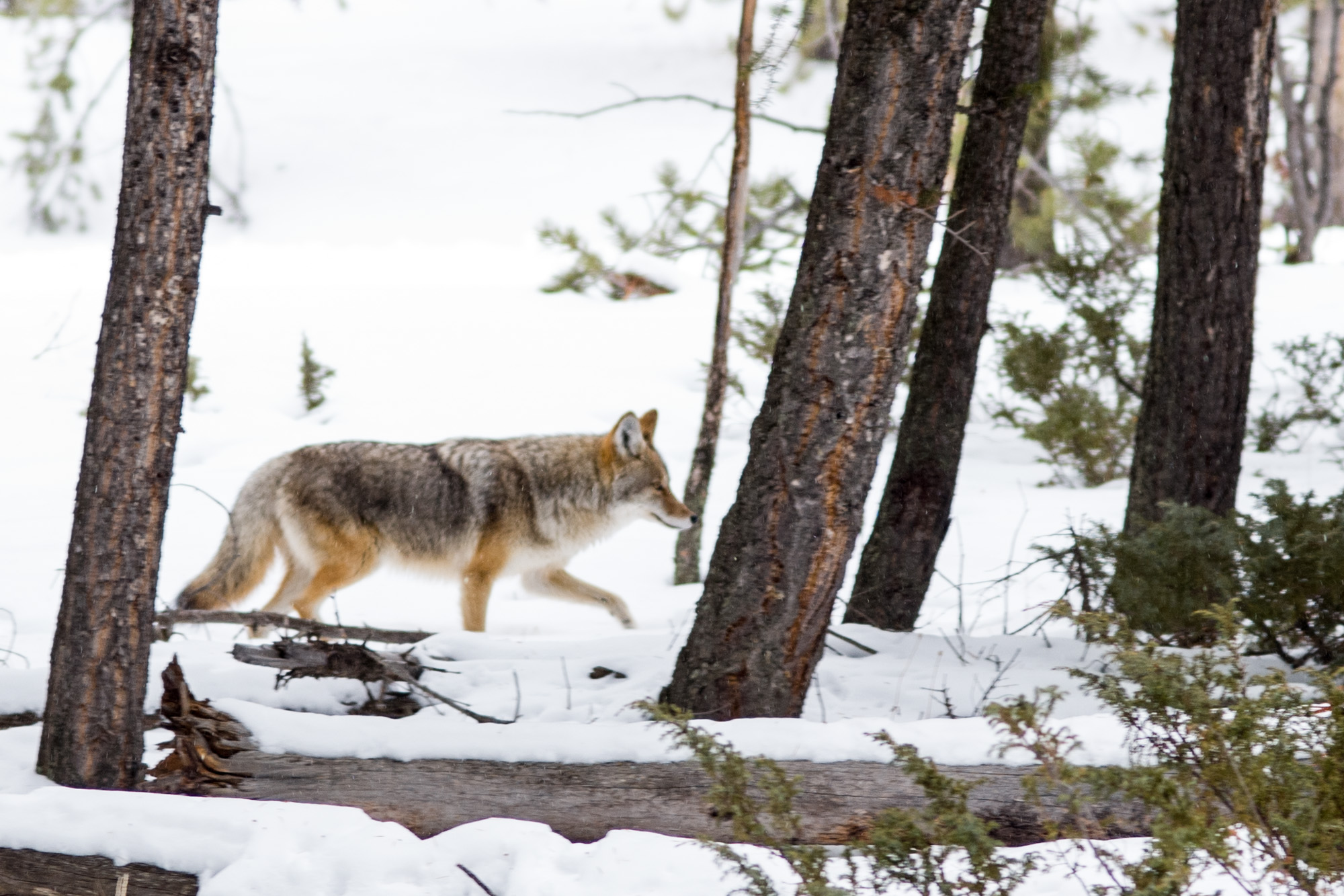 A coyote hunting for lunch
