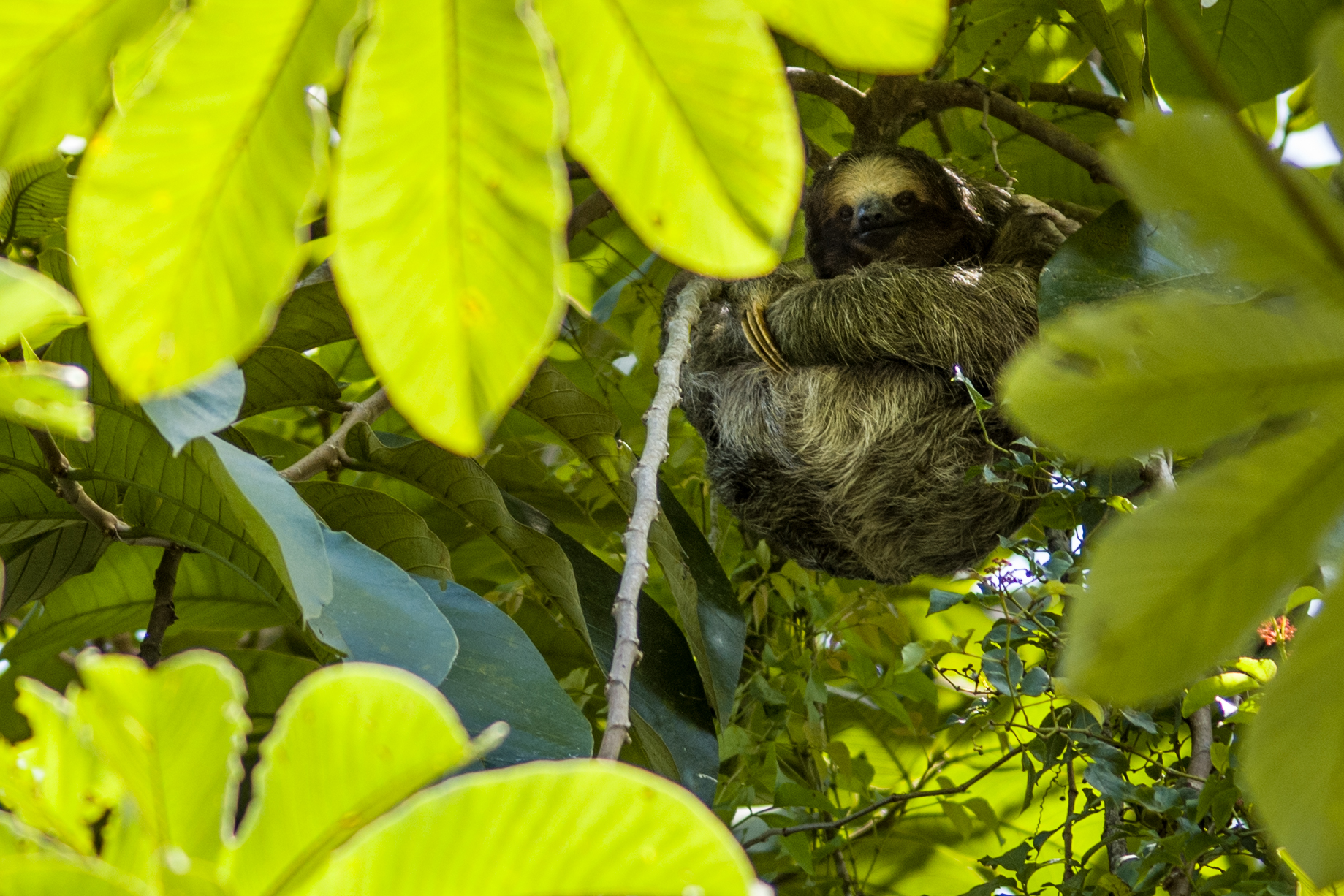 A 3 toed Sloth snoozing in the canopy