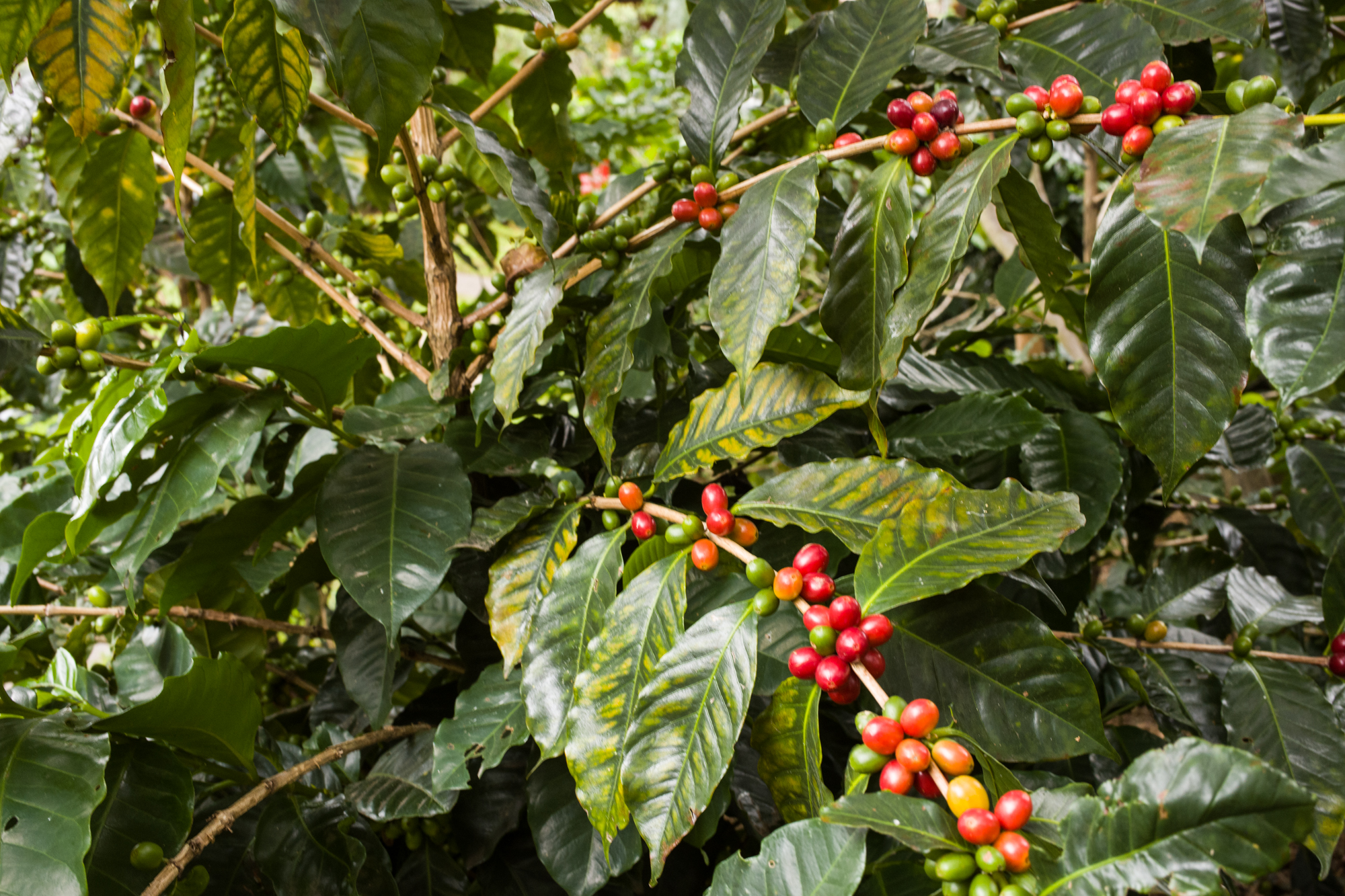 Bright red ripe coffee cherries on the bush