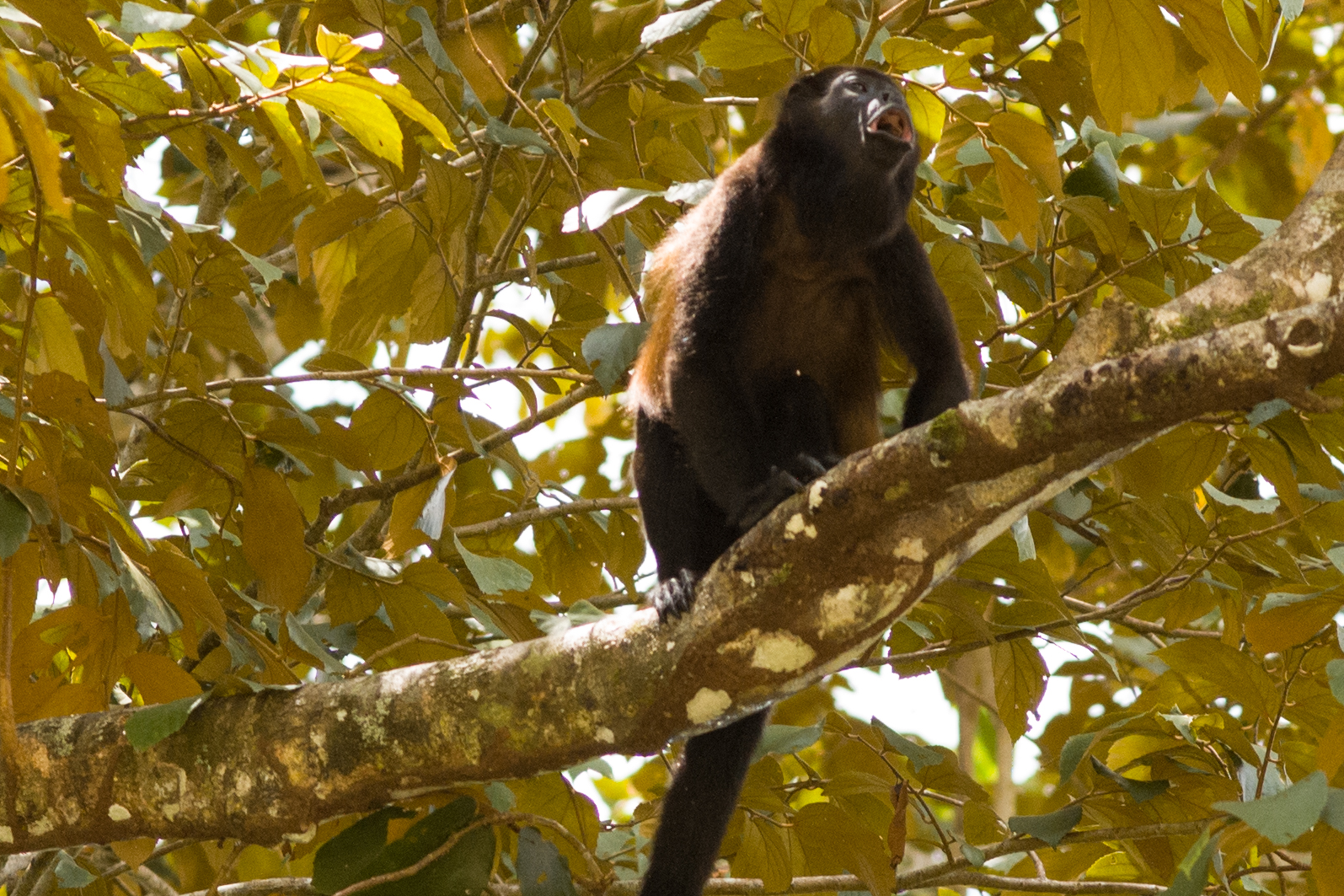 A howler monkey...howling