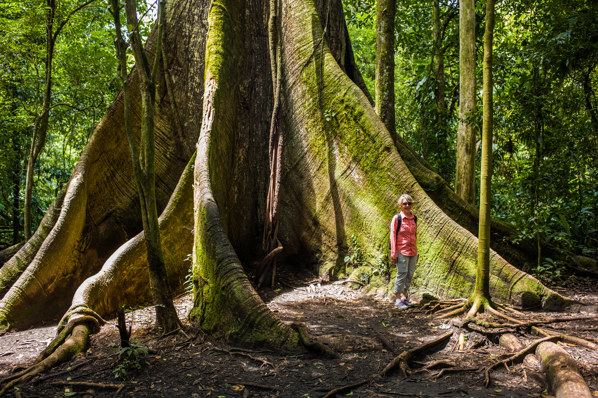 The root system of a Celiba tree in the Arenal Volcanic Park