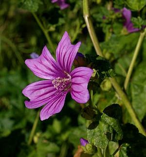 The Mallow Flower
