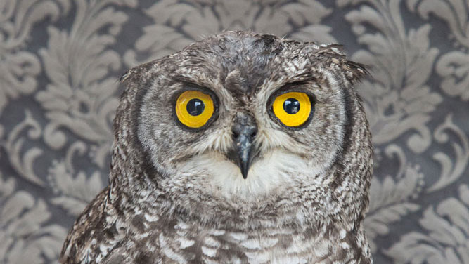 Claire-RosenSPOTTED-EAGLE-OWL-NO-7261_crop.jpg