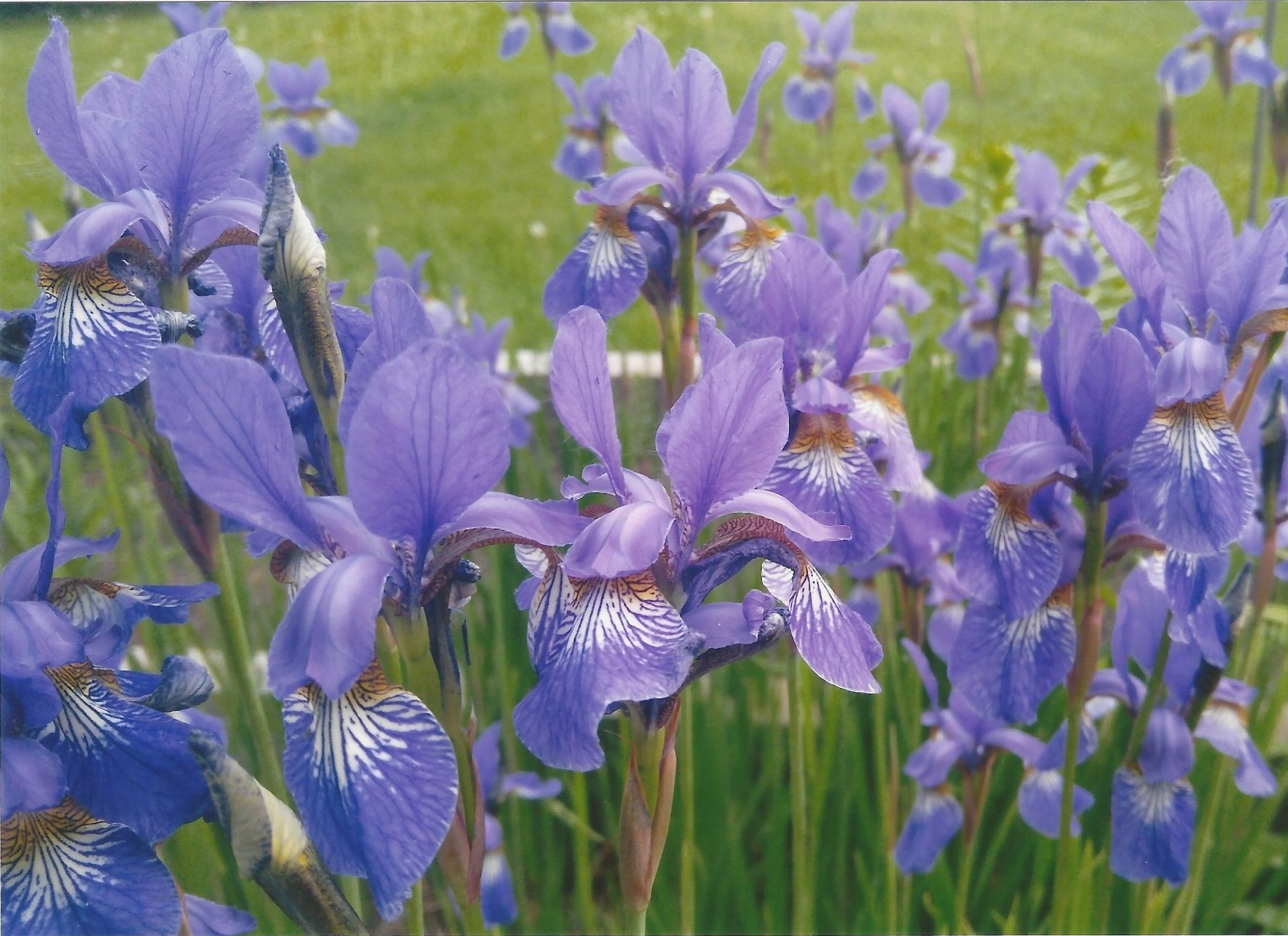 Stewart - Field of Irises.jpg