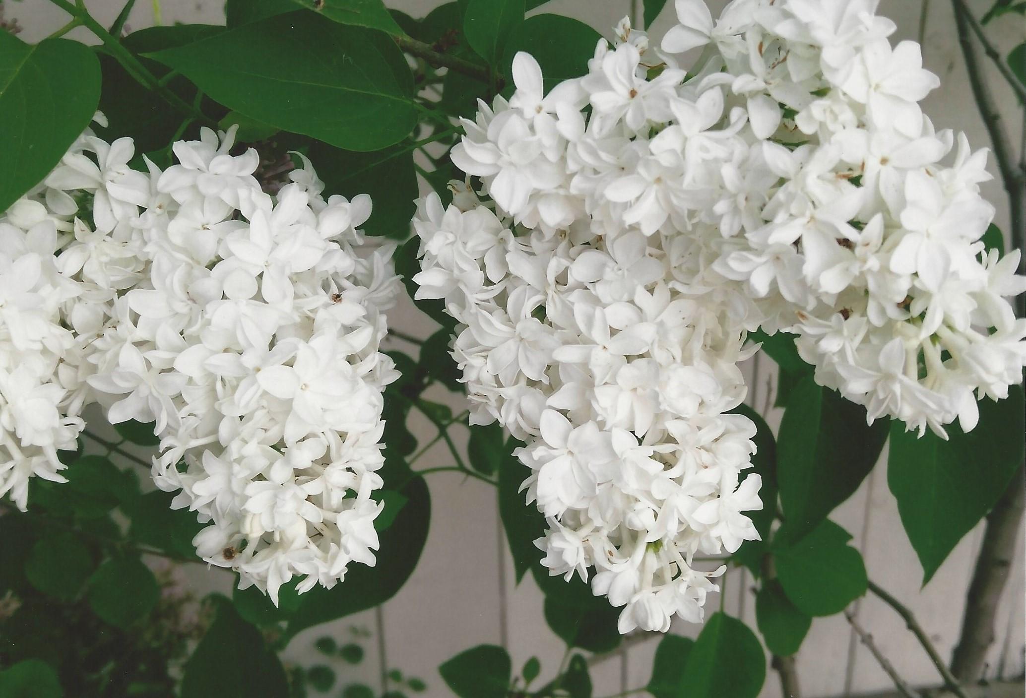 Stewart - White Lilacs.jpg
