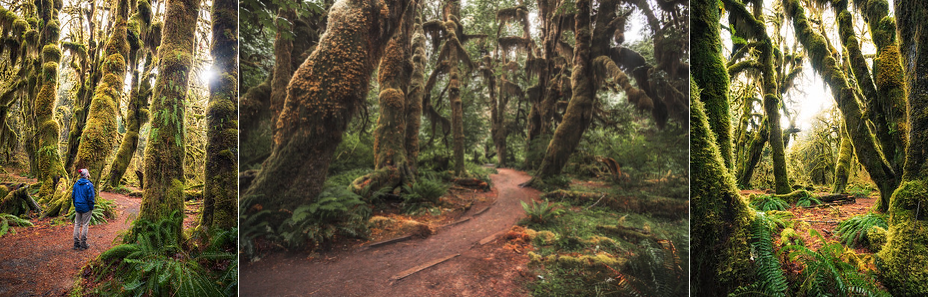 0.8 miles RT - 100ft of gain.  This short hike that begins at the visitor center is perhaps my favorite hike on the Olympic Peninsula simply because of how unique it is. It's hard to put into words how magical this place can feel, particularly early in the morning before most people are on the trail.  WTA link:  https://www.wta.org/go-hiking/hikes/hall-of-mosses   AllTrails link:  https://www.alltrails.com/trail/us/washington/hoh-rain-forest-hall-of-moss