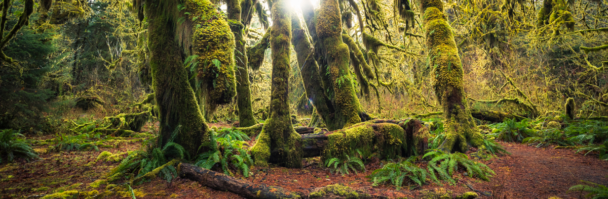 Hall of Mosses Trail in the Hoh Rainforest on the Olympic Peninsula by Michael Matti.jpg